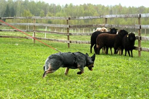 Artikkel Kuidas Greta lammaste karjatamist õppis 1