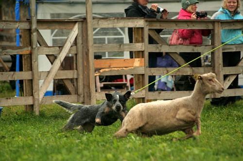 Artikkel Kuidas Greta lammaste karjatamist õppis 2
