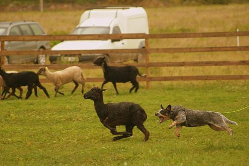 Artikkel Kuidas Greta lammaste karjatamist õppis 3
