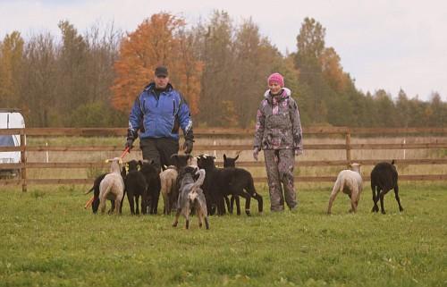 Artikkel Kuidas Greta lammaste karjatamist õppis 4