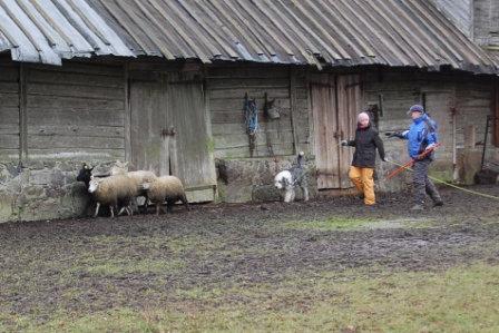 Artikkel karjatamiskoolitus karjakoertele 4