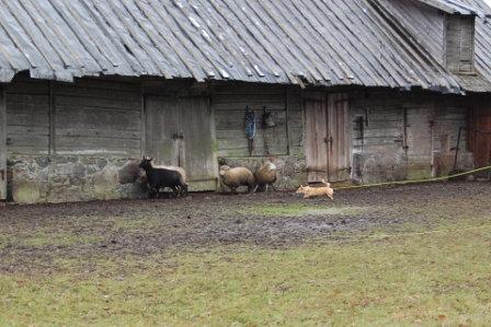 Artikkel karjatamiskoolitus karjakoertele 5