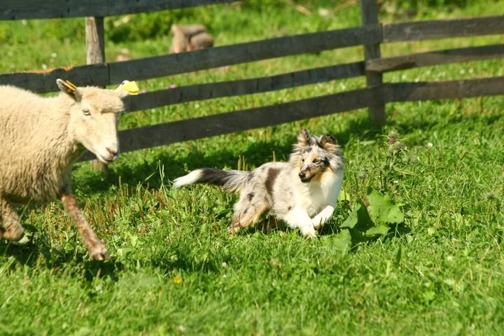 Shetlandi lambakoer ja lammas