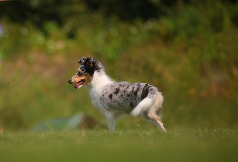 Shetlandi lambakoera kutsikas